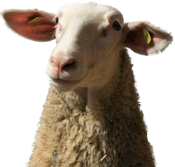 Photo of a very cute, funny-looking sheep